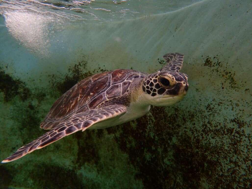 Flagler Beach sea turtle