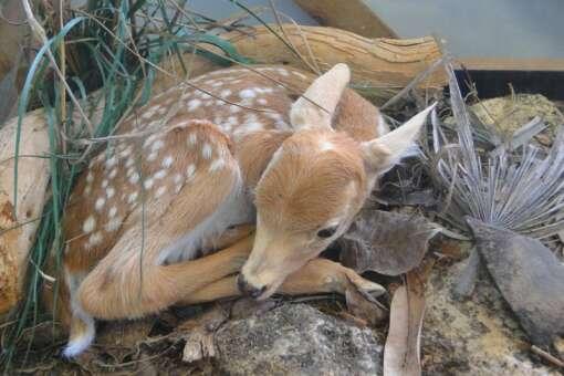 baby Keys deer laying in a rock