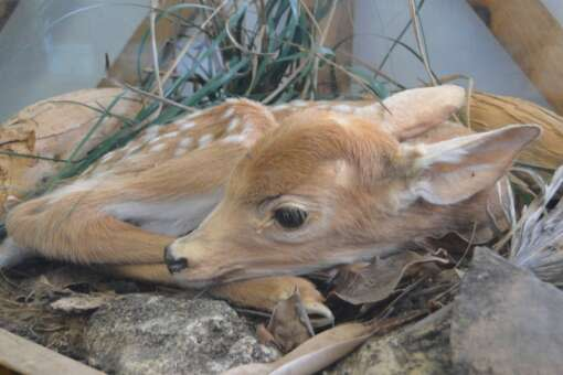 baby Keys deer laying in foliage and rocks