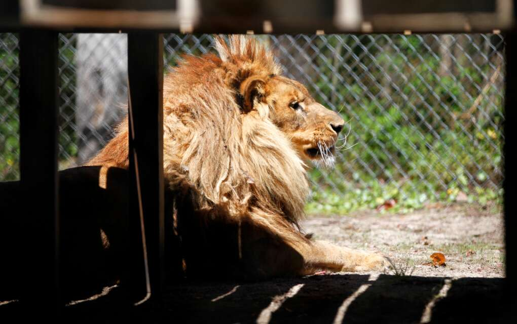 Freddy, an African lion, basks in the sun in his habitat at Catty Shack Ranch Wildlife Sanctuary in Jacksonville.