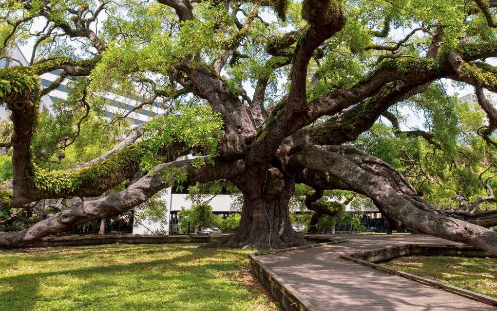 Treaty Oak, an octopus-like Southern live oak, is located in Jessie Ball DuPont Park in Jacksonville.