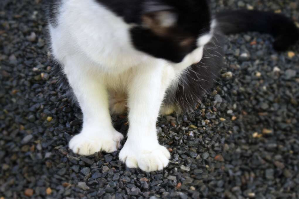 A six-toed 'Hemingway cat' at the Ernest Hemingway Home & Museum