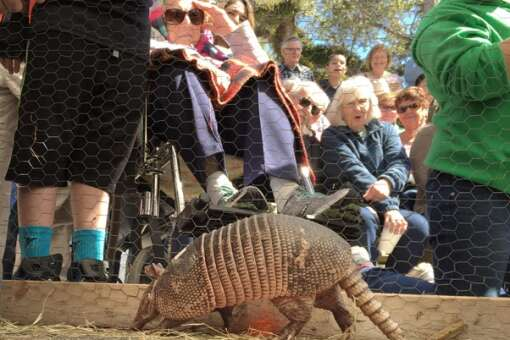 Armadillo racing at the festival near Fort Myers