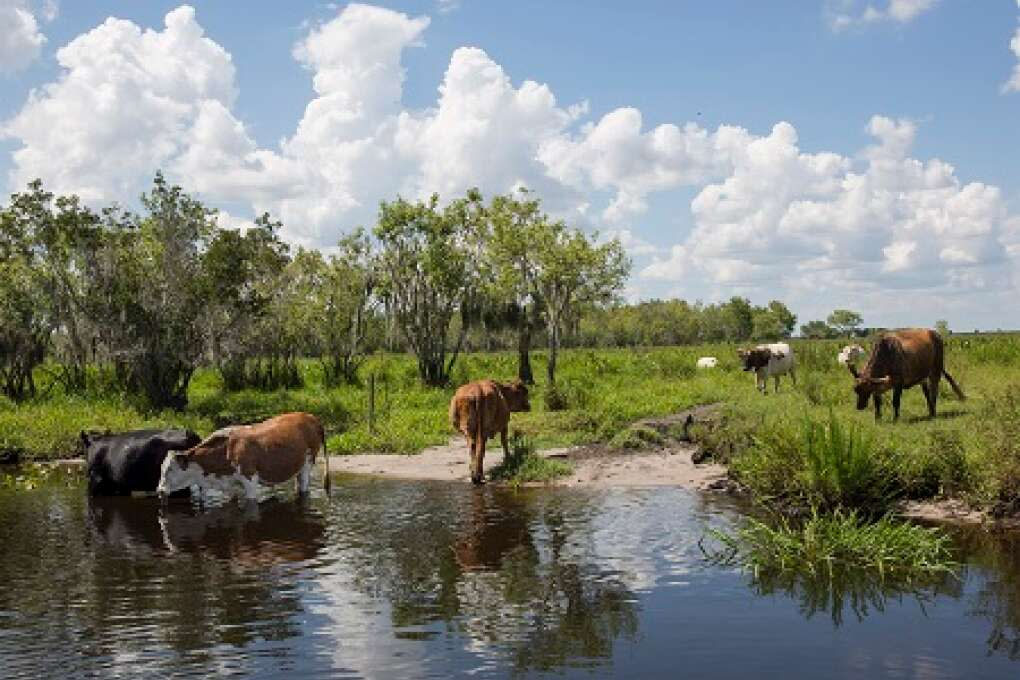 Cattle drinking and grazing at Lake Istokpoga