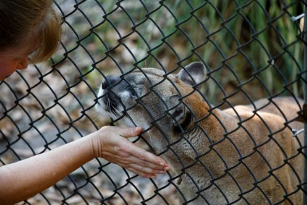 Missy, a cougar, rubs along the fence line of her enclosure at the Hardee County Wildlife Refuge in Zolfo Springs, Florida on March 2, 2015. VISIT FLORIDA/Scott Audette