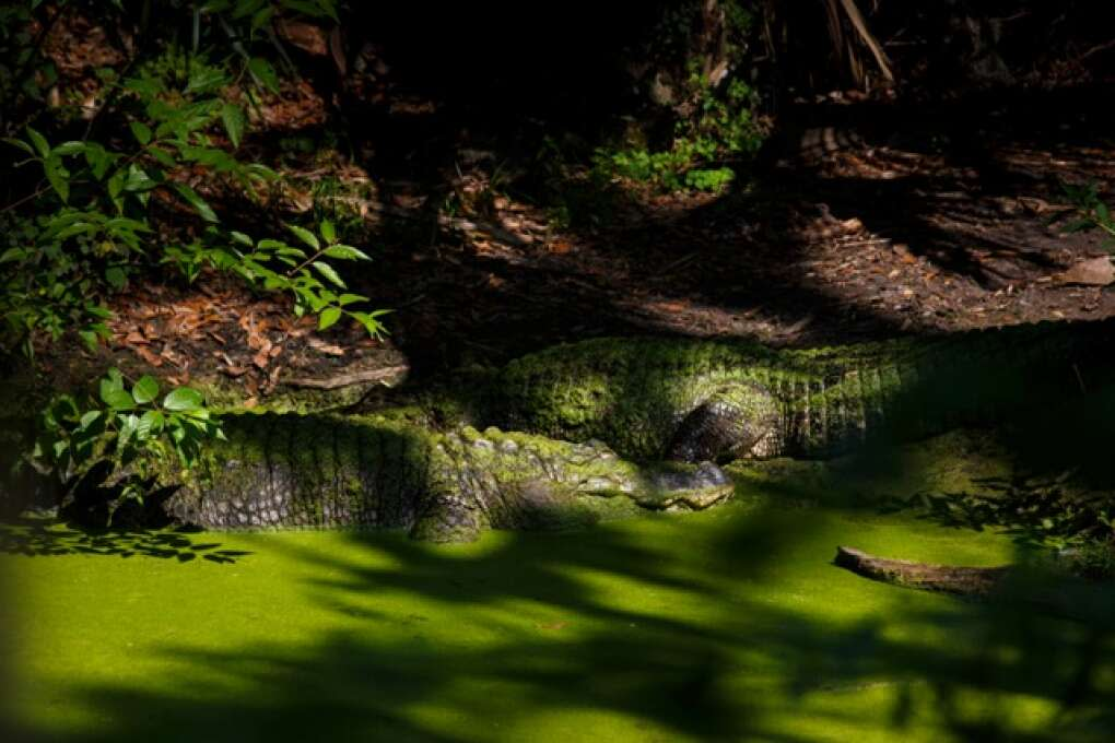 Two American alligators covered in duckweed bask in the sunshine at the Hardee County Wildlife Refuge in Zolfo Springs, Florida on March 2, 2015. VISIT FLORIDA/Scott Audette