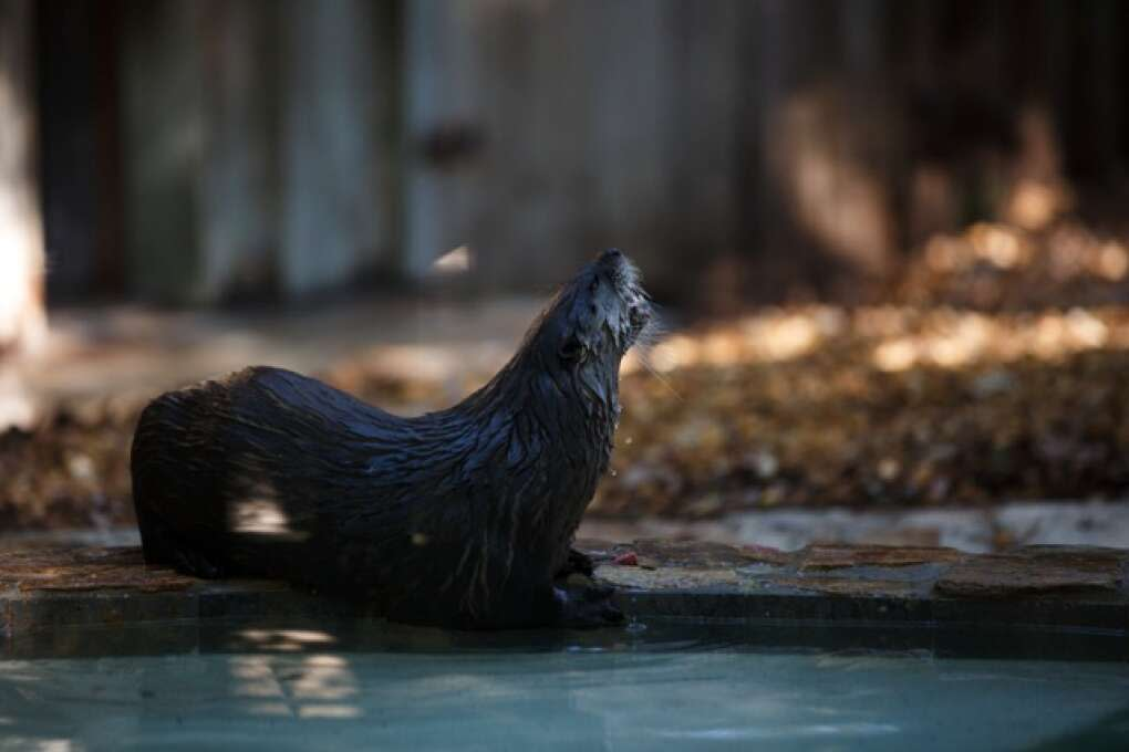 A resident otter of the Hardee County Wildlife Refuge in Zolfo Springs, Florida eats on March 2, 2015. VISIT FLORIDA/Scott Audette