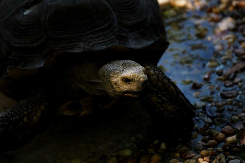 A rescue African Spur Thigh tortoise makes its way through it's watering hole at the Hardee County Wildlife Refuge in Zolfo Springs, Florida on March 2, 2015. VISIT FLORIDA/Scott Audette