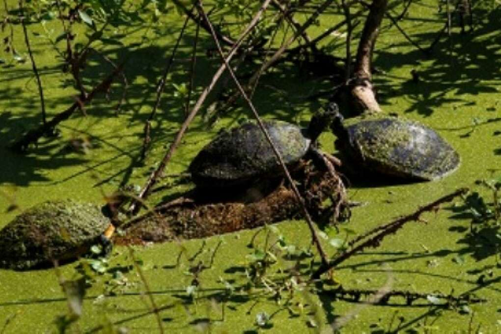 Turtles bask in a pond at the Hardee County Wildlife Refuge in Zolfo Springs, Florida on March 2, 2015. VISIT FLORIDA/Scott Audette