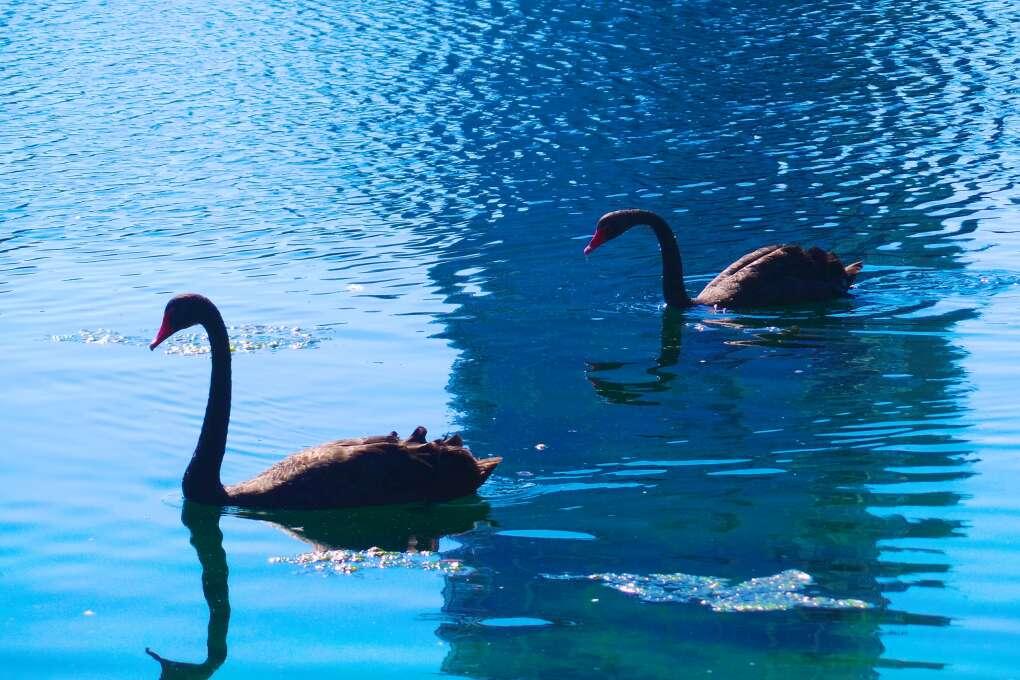 Black Swans swimming in Eola Park, Orlando, FL