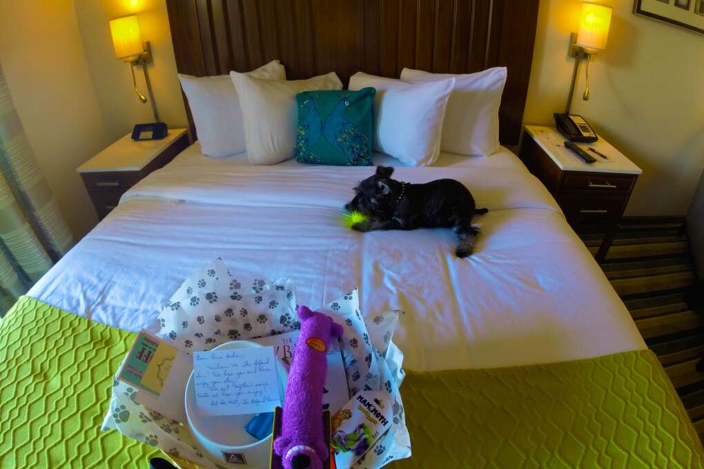 Puppy playing on the bed in dog-friendly Alfond Inn