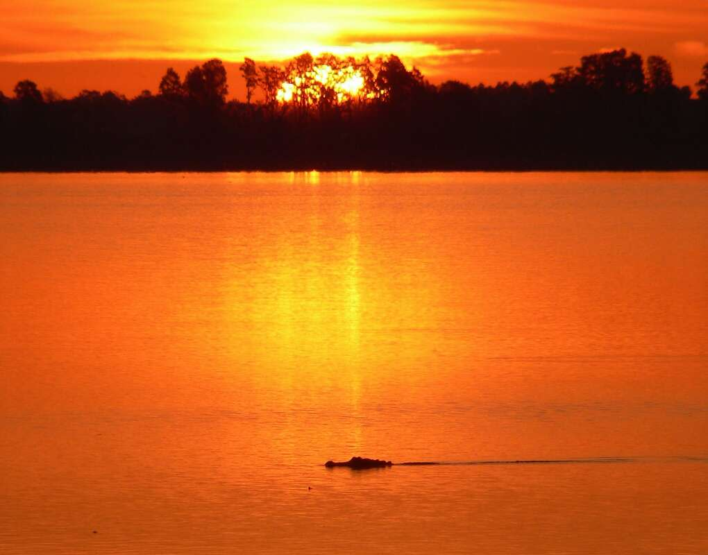 alligator at sunset at Circle B Bar Reserve by Lakeland Just an hour from Tampa