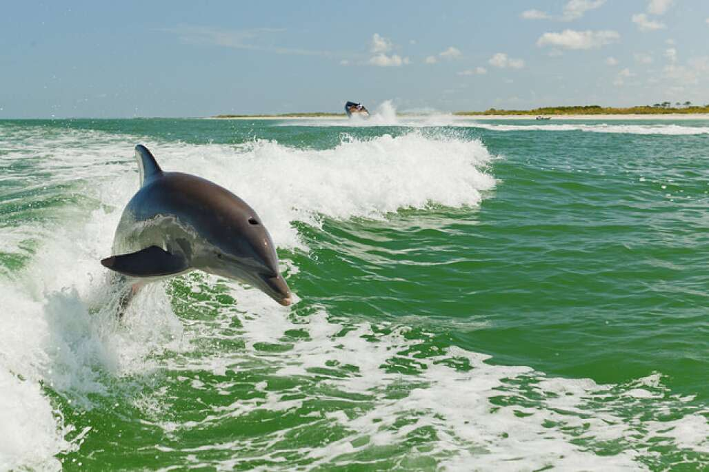 Dolphin jump diving in the St. Pete Clearwater.