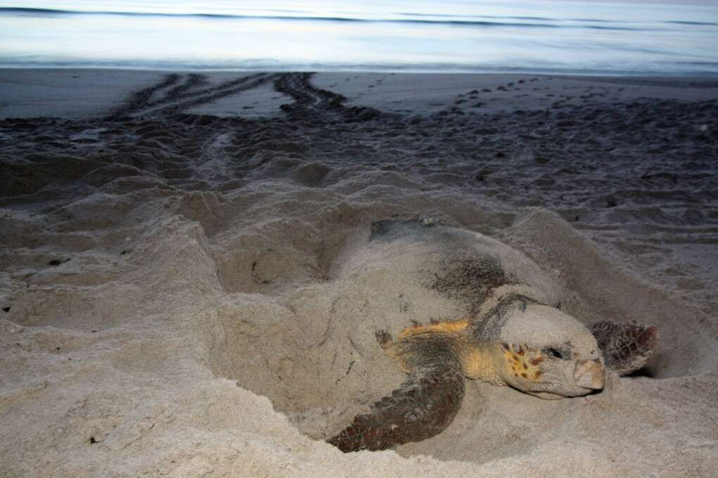 A female loggerhead turtle gathers her strength for the final nesting push.