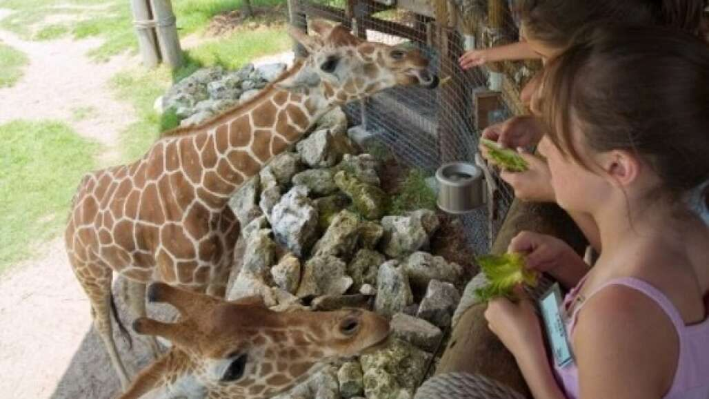 The chance to hand-feed giraffes is but one of the adventures that you can discover at Jacksonville Zoo and Gardens.