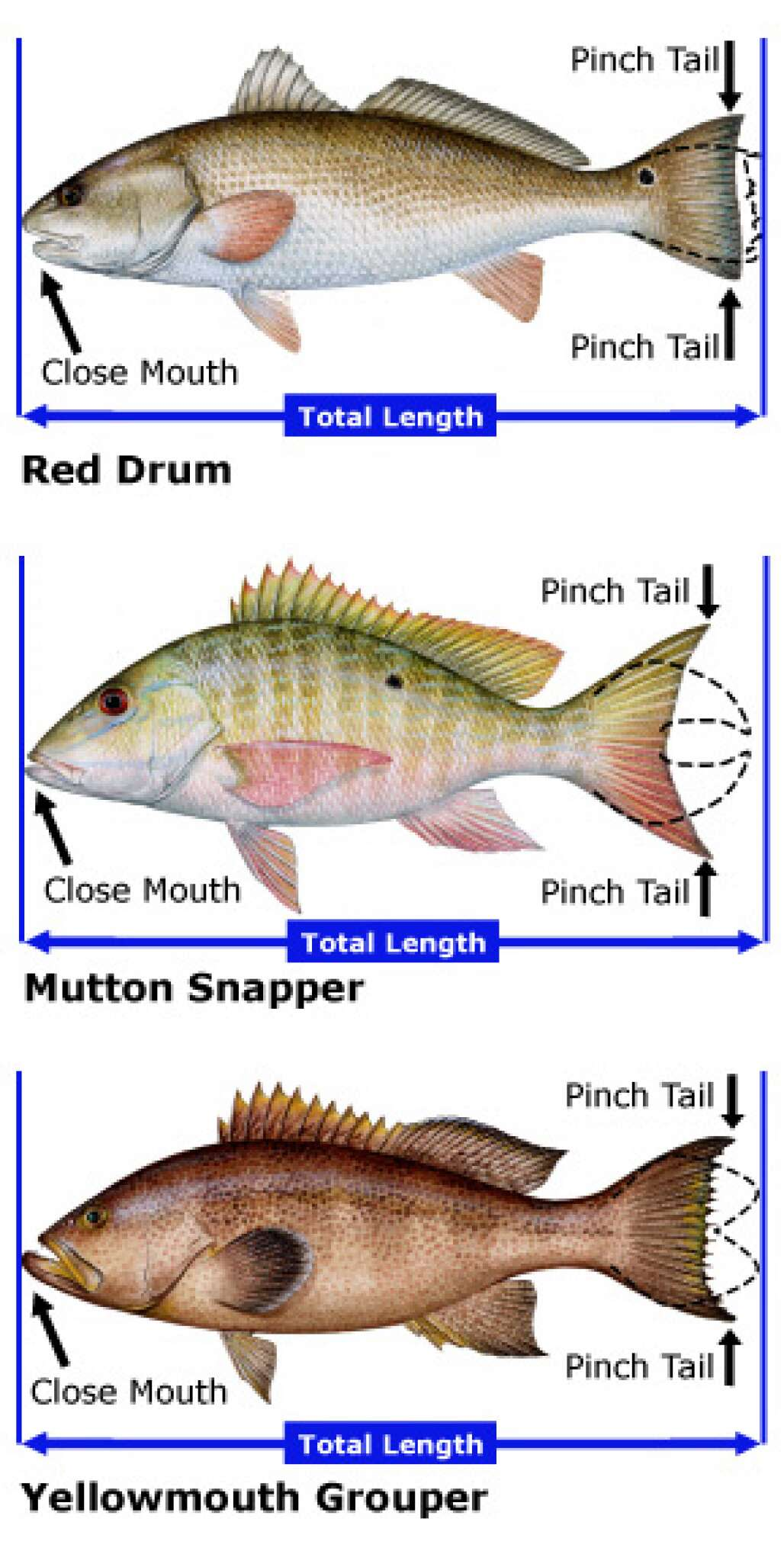 Measuring Fish - Total Lenght Measurement