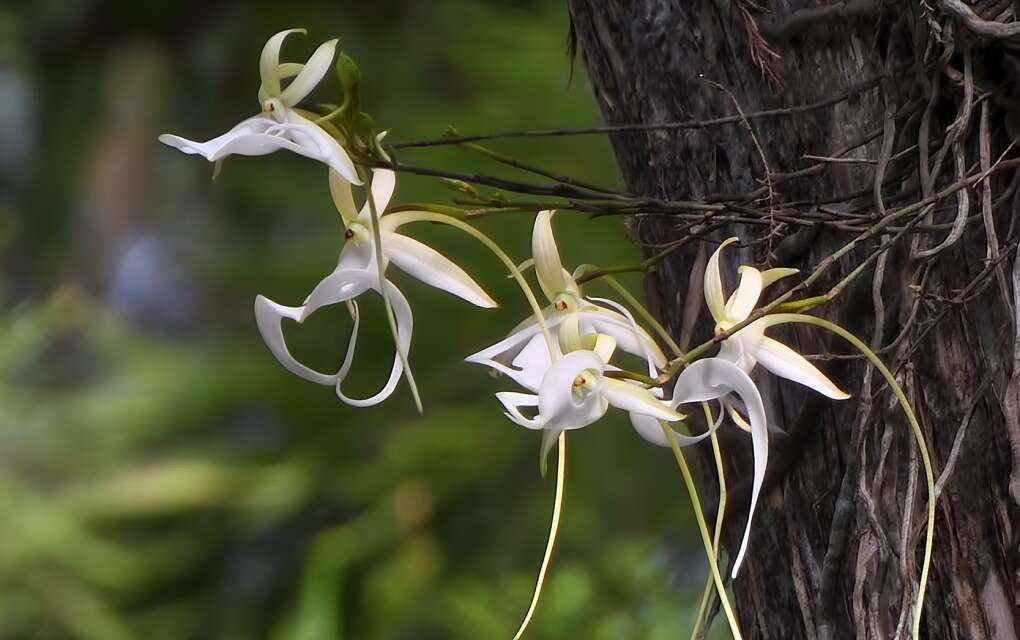 the famed, elusive ghost orchid