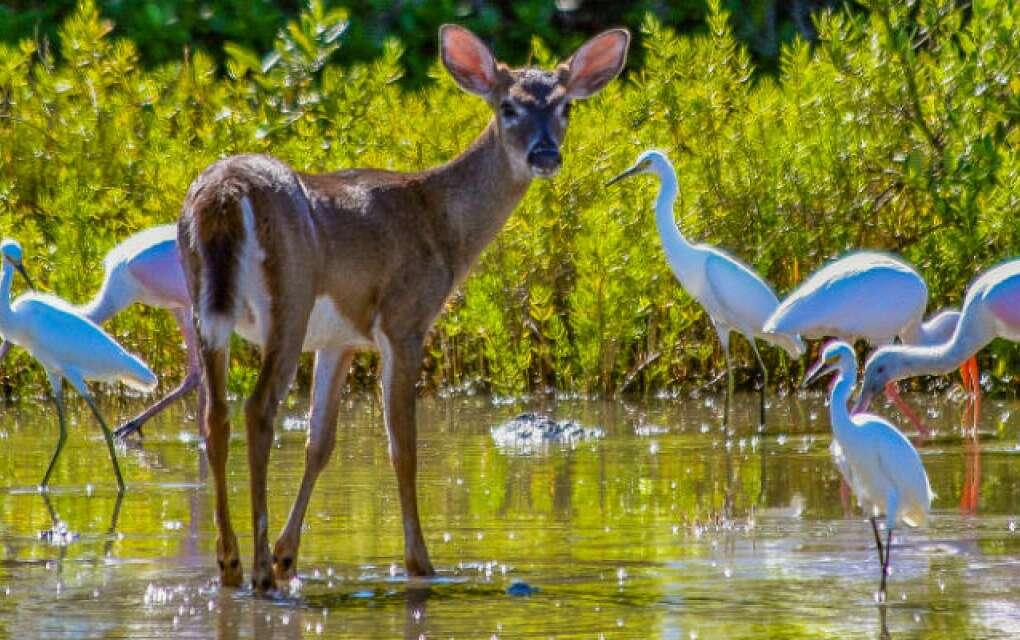 Key Deer with birds in water