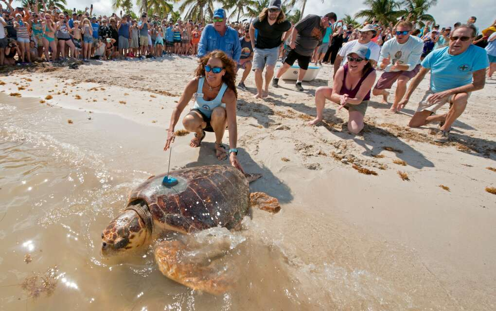 The Turtle Hospital in Marathon lets loose a giant, rehabbed sea turtle back into the ocean