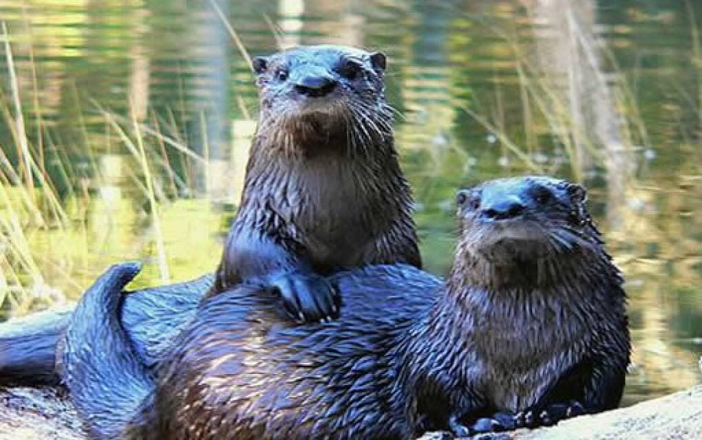 cute river otters at Merritt Island National Wildlife Refuge