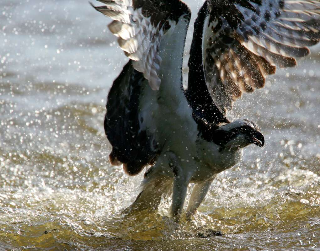 An osprey catches a fish at the Oakland Nature Preserve.