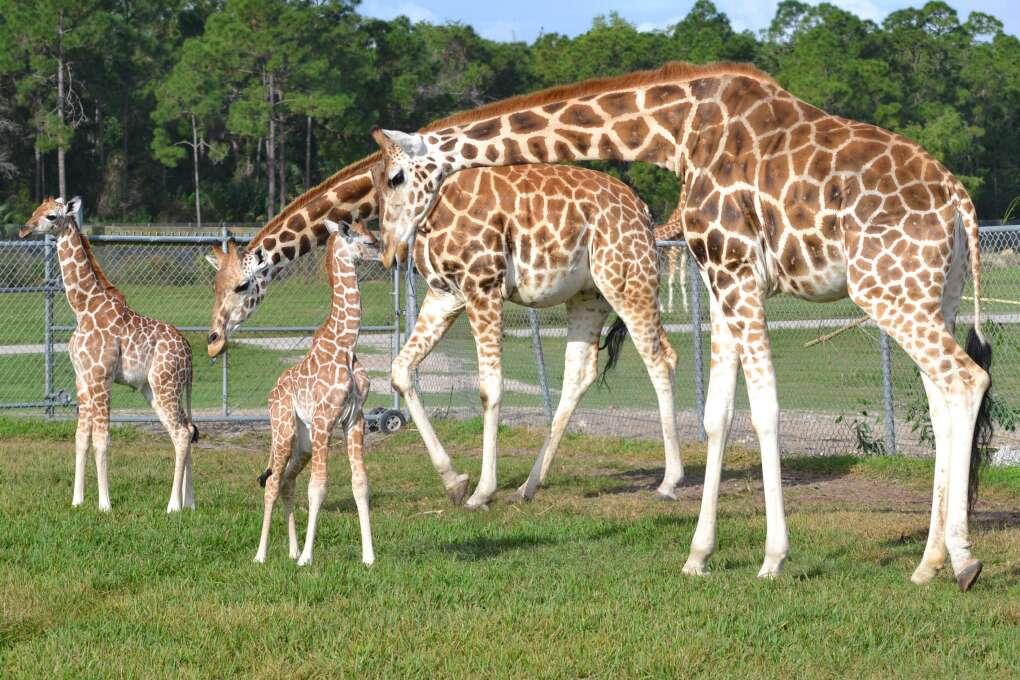 must do in Florida - Giraffe Ranch