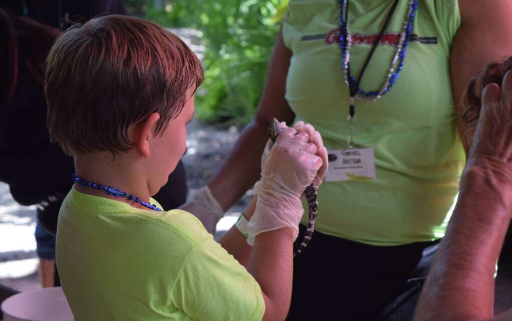Once a year, Gatorama hosts its Gator Hatchling Festival to give participants the chance to watch and hold a tiny gator soon after its birth.