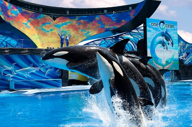 Orcas jumping out of the water in the Shamu show at SeaWorld