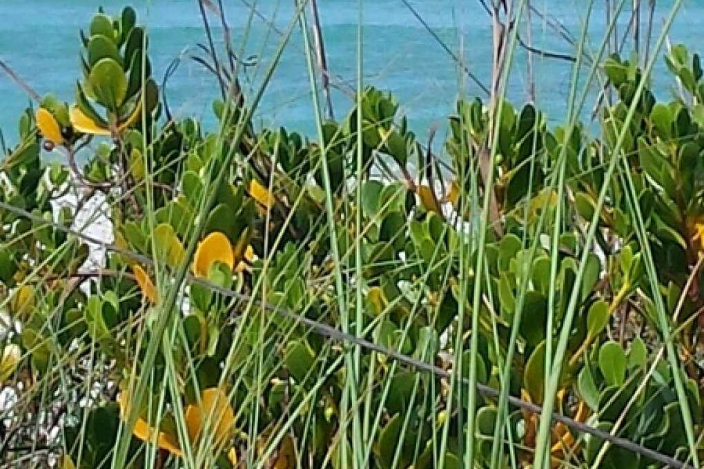 Cayo Costa Island's sea oats