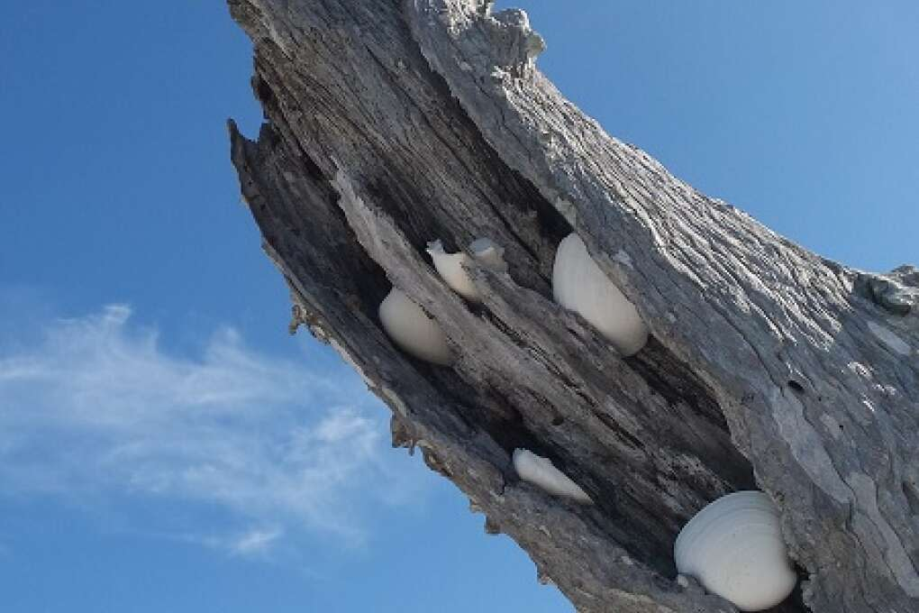Tucked seashells on Cayo Costa Island