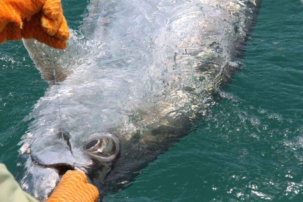 In spring, summer and early fall, tarpon are caught off the beaches, up the rivers and throughout the Indian River Lagoon.