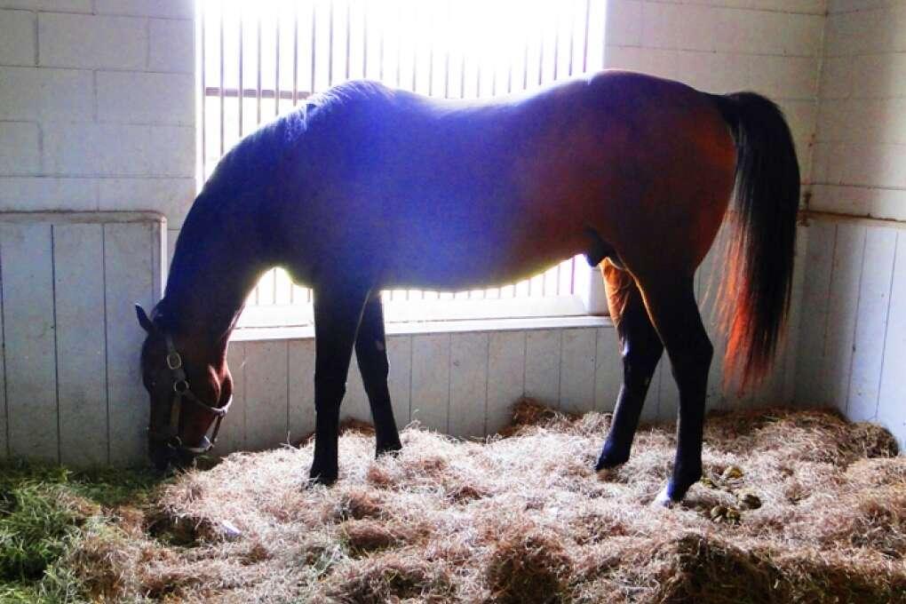 Arabian Horse at Ocala Horse Farm