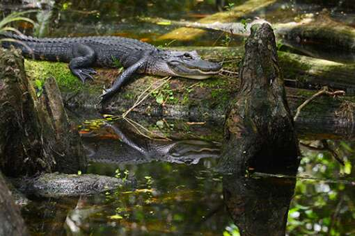 There is an estimated 2 million alligators in Florida, and lots of them to see lounging along Loop Road in the Big Cypress National Preserve.