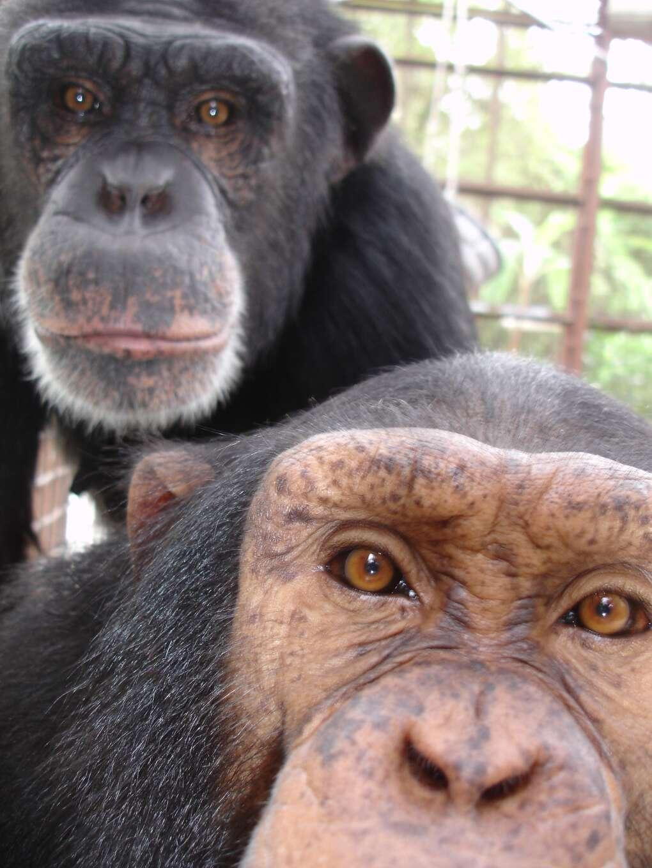 Ape Sanctuary in Florida