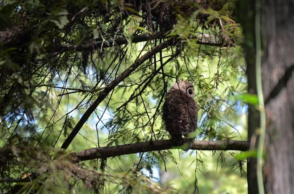 owl sitting on tree in the corkscrew swamp
