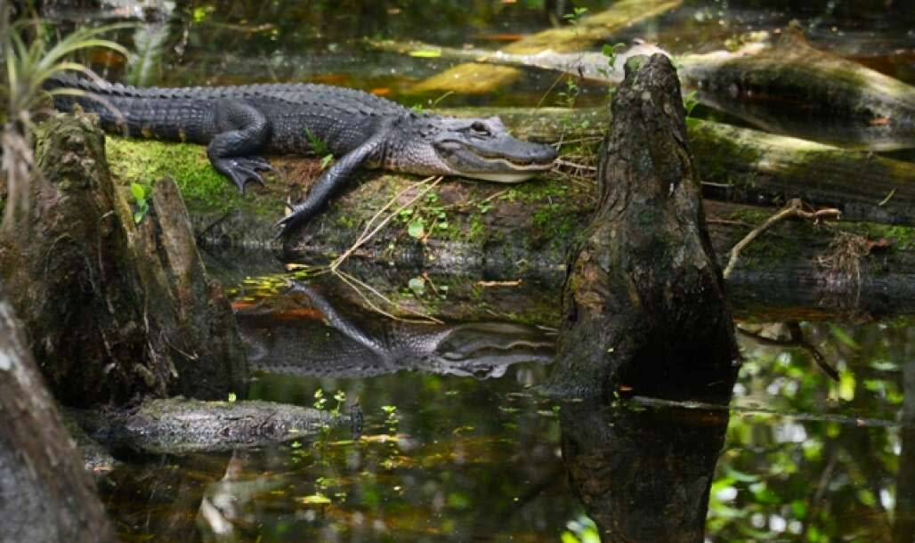 alligator in the Corkscrew swamp