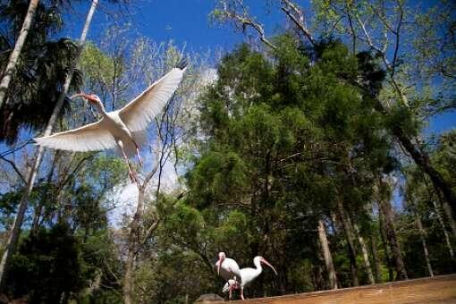 homosassa-springs-state-park-photo-ibis