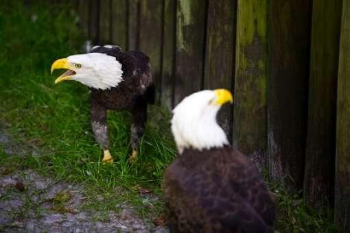 homosassa-springs-state-park-photo-eagles
