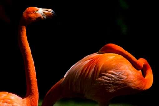 homosassa-springs-state-park-photo-flamingos