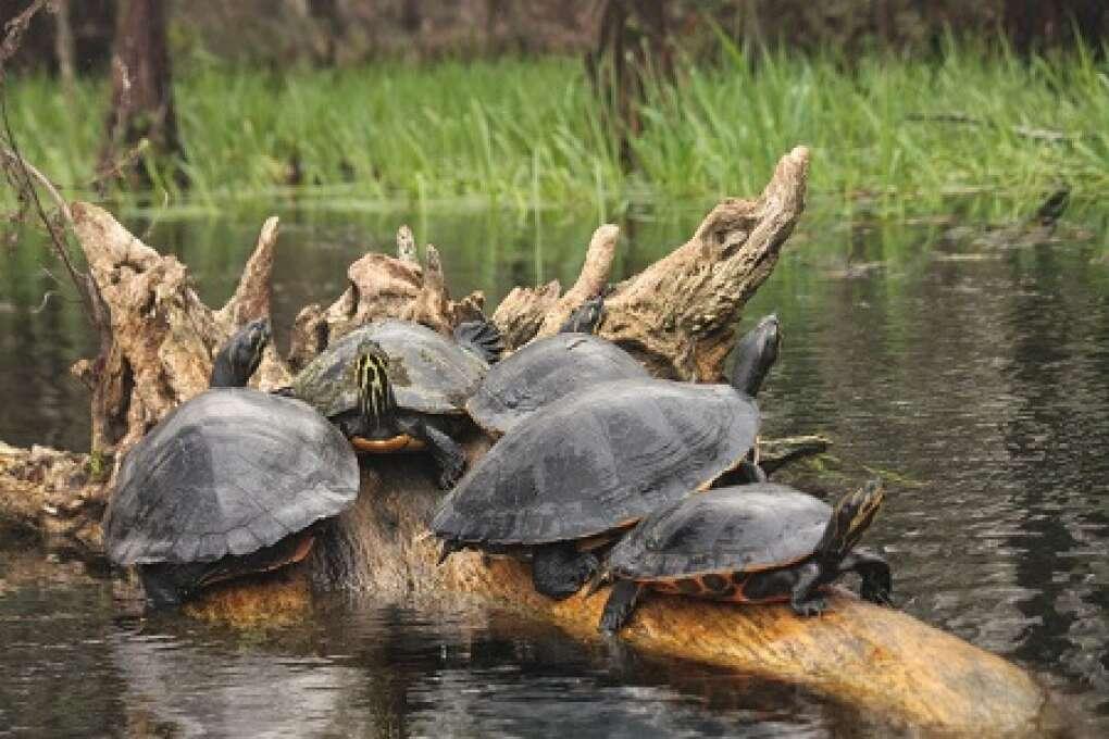 turtles along the Ichetucknee River