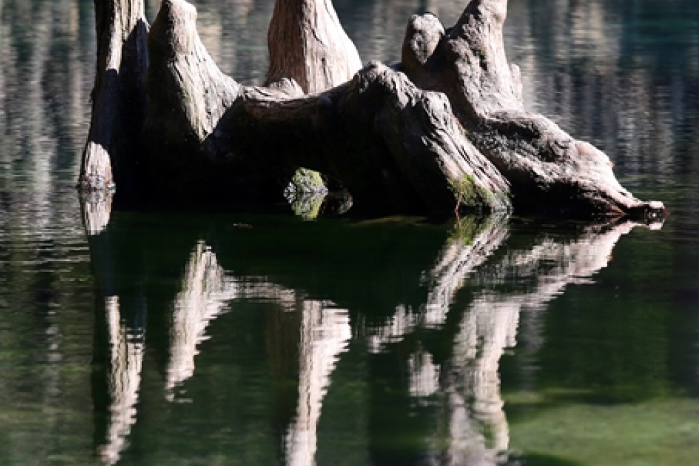 Cypress tree knees poke out of the water at Ponce de Leon Springs State Park.
