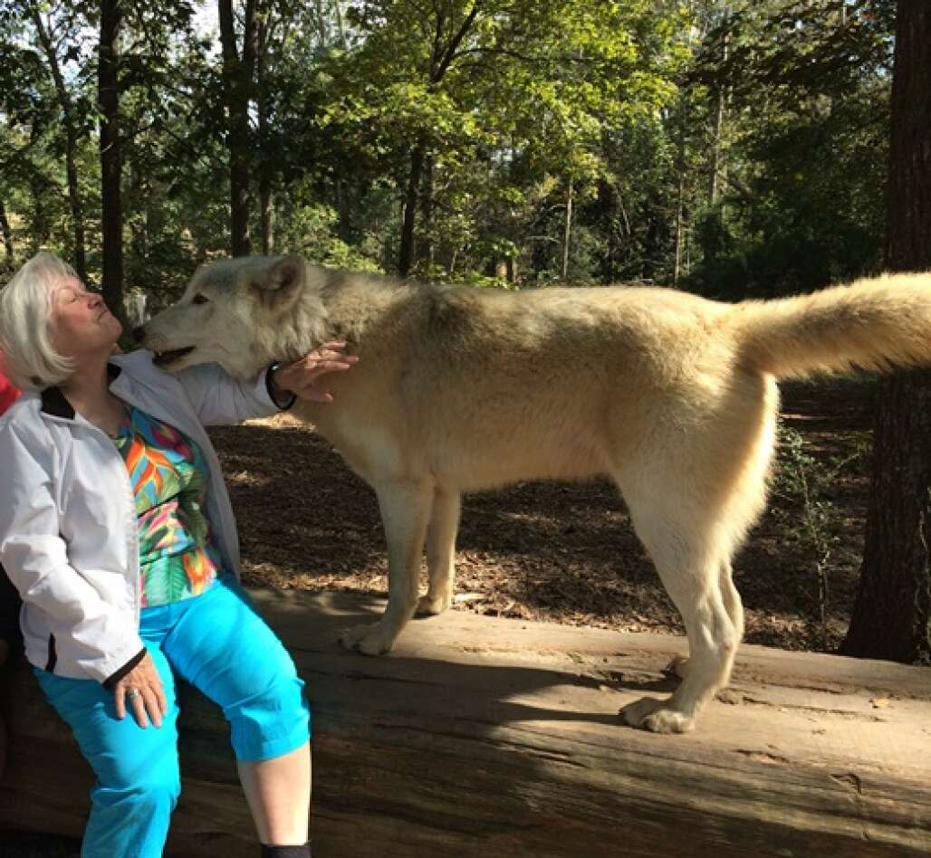 A white wolf being playful at the Seacrest Wolf Preserve