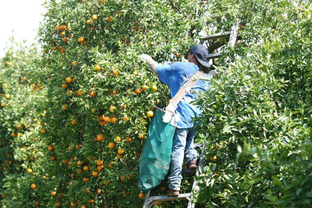 Man picking oranges at the Citrus Tower Orange Grove Clermont