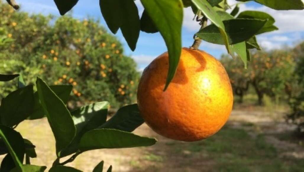 facts about florida oranges