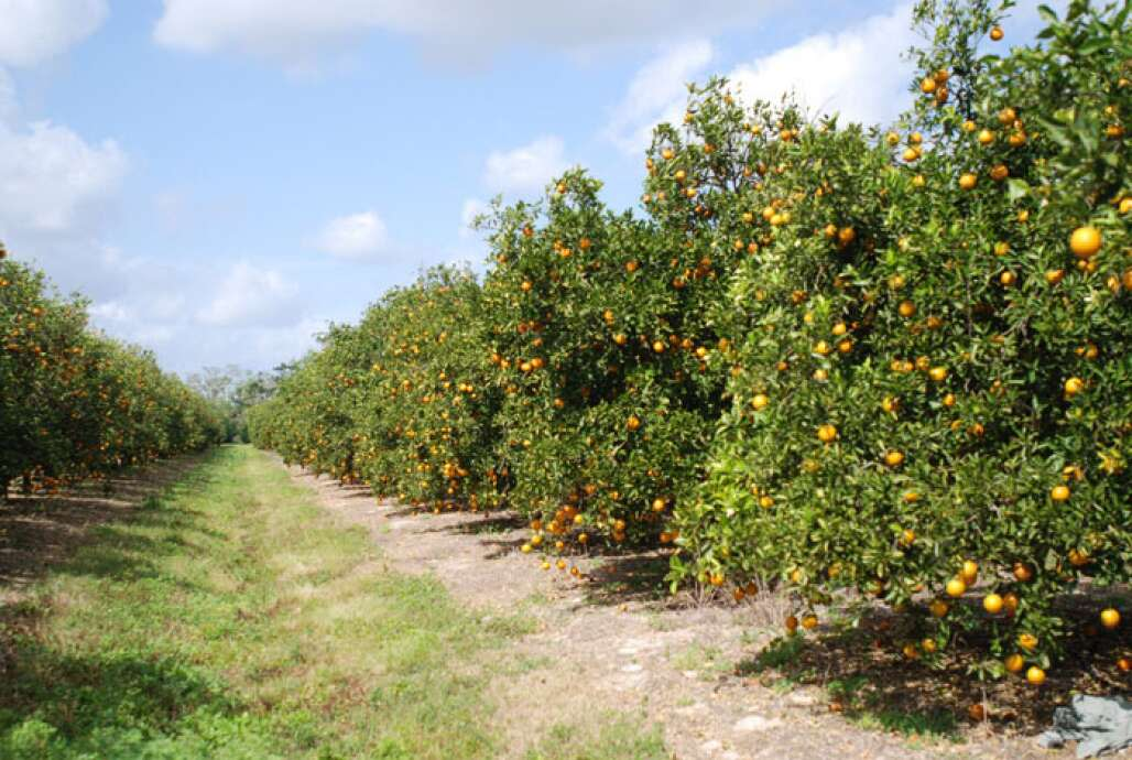 Modern citrus groves provide a habitat for wildlife and a buffer from urban development.