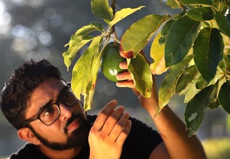 A man colleting an avocado from the tree