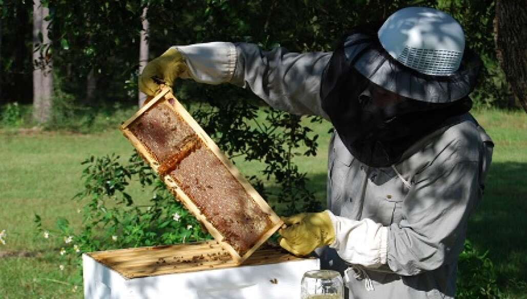 Honey owner removes a wooden frame from a live beehive