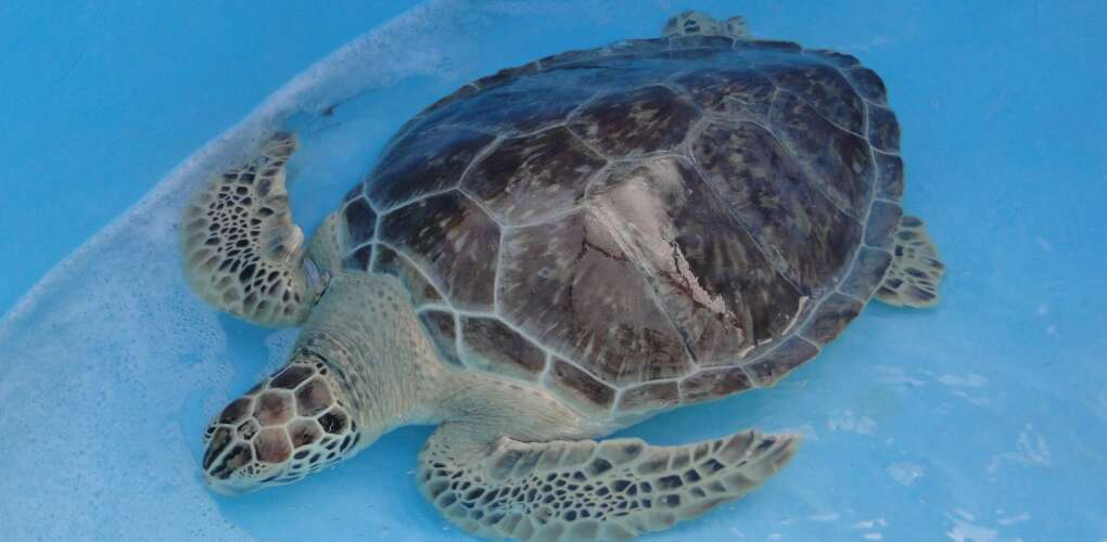 Can you imagine the wonder a sea turtle feels when it's once again released into the wild?