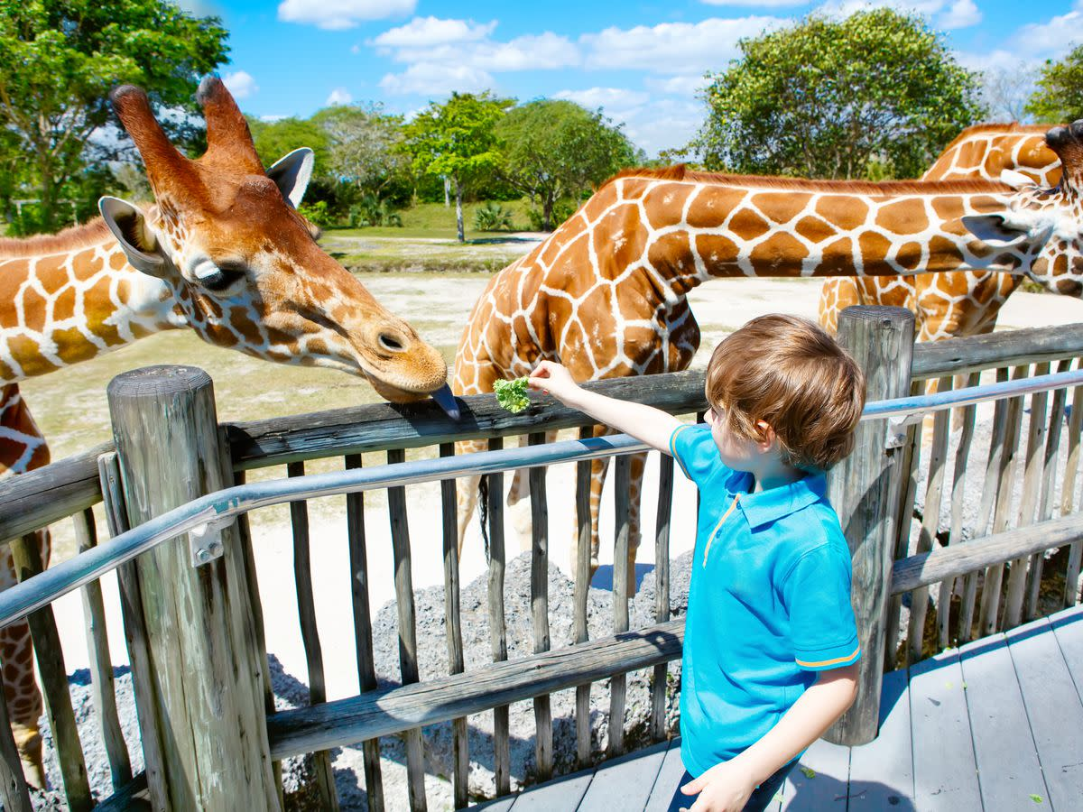 Feeding giraffes is a family pastime at Zoo Miami, the largest tropical zoo in the continental United States.