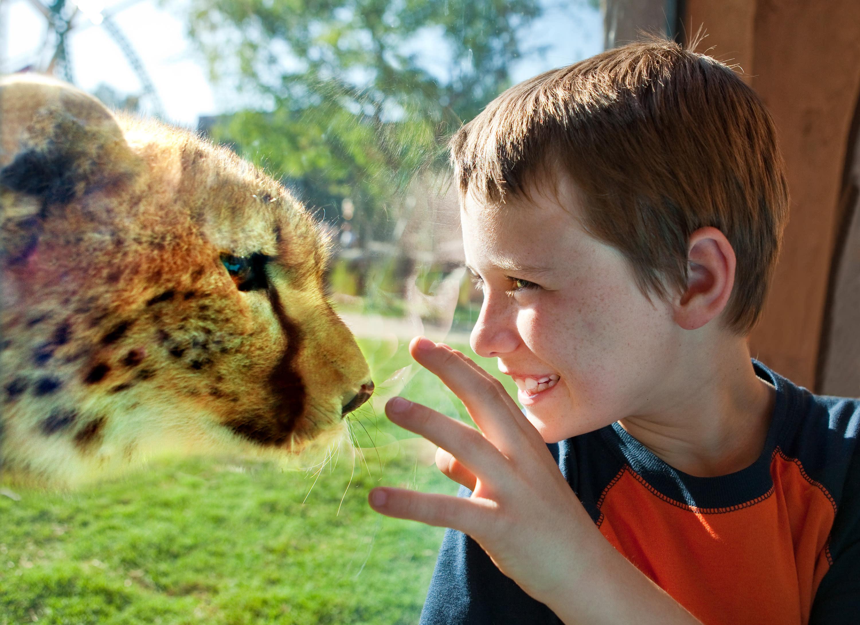 Un niño disfruta de la exhibición Cheetah Hunt en el Busch Gardens Tampa Bay.